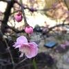 円照寺の梅。(一眼トイデジで加工)