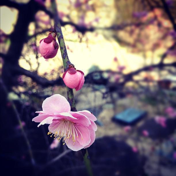 円照寺の梅。(instagramで加工)
