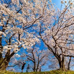 桜の生命力