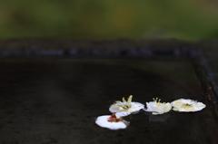 梅 - 水上の落花美 -