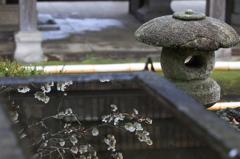 梅 - 手水鉢の白梅 -