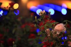 中之島公園薔薇園
