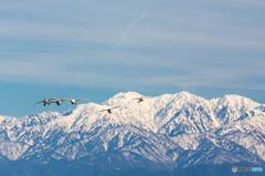 立山連峰と白鳥