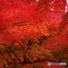 智積院の紅葉