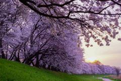 ド肝を抜かれた桜並木
