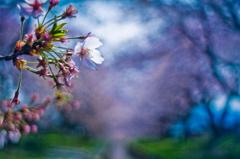 越乃破綻桜