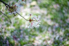 越後桜 開花宣言