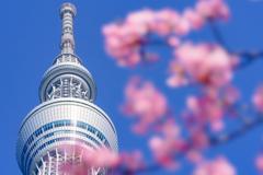 桜とツリー