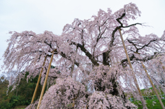三大桜・三春の滝桜