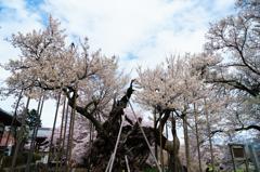 三大桜・山高神代桜