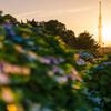 輝く紫陽花と成田エクスプレス