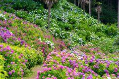 紫陽花へ続く道