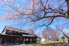 旧駅舎と桜