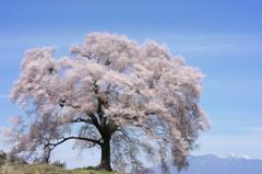 絵画のしだれ桜