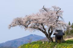 小沢の桜~2016~