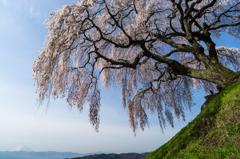 乙ケ妻のしだれ桜と富士