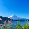 秋桜と夏の富士