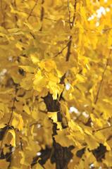 黄色い群れ