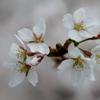 今、咲き初めし…