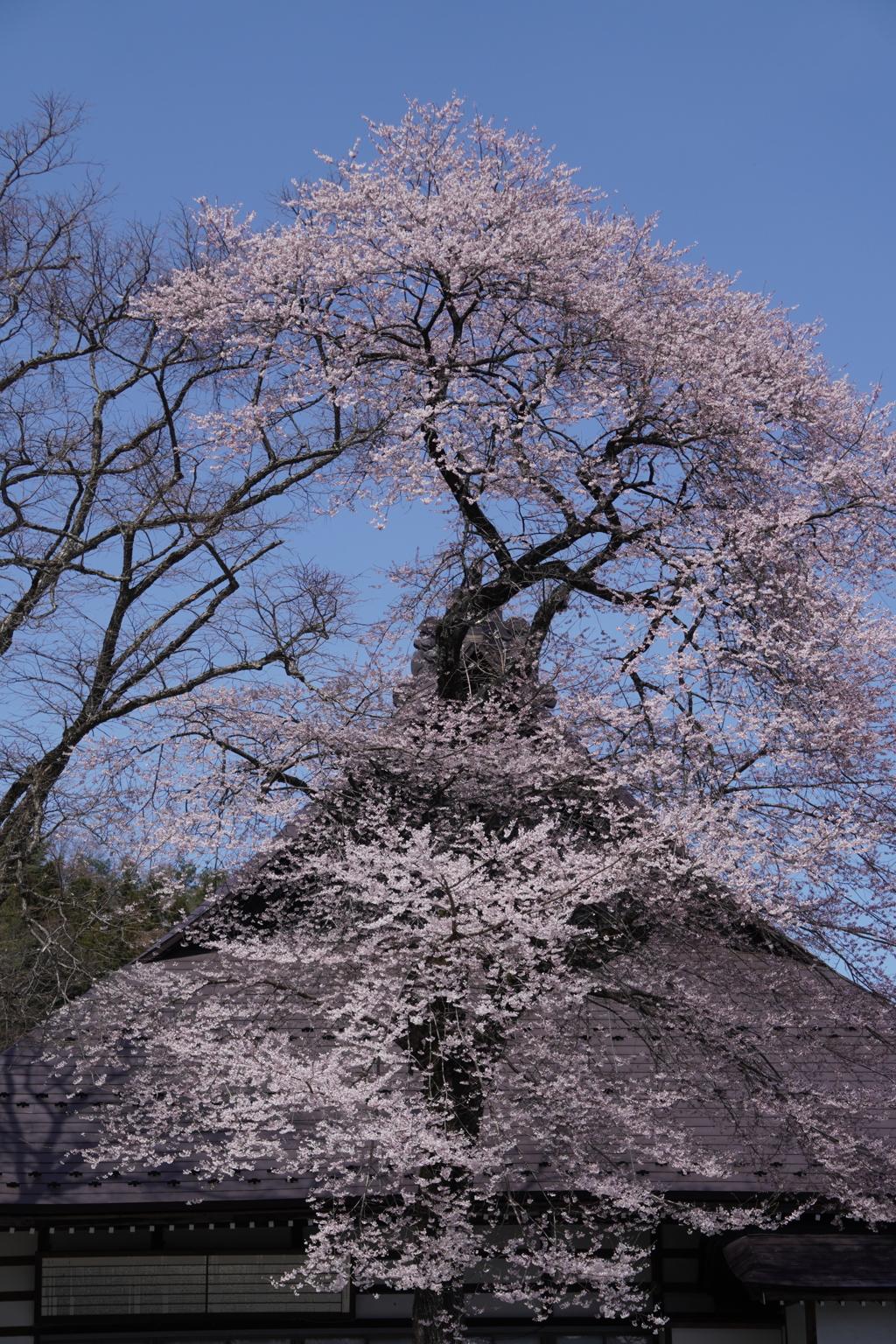 桜咲く…寺
