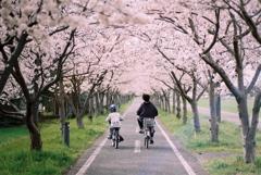 「桜ロードの午後」