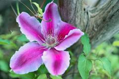 テッセンが咲きました
