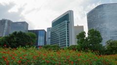 街の情景 - キバナコスモスの咲く都心庭園 -
