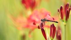 生き物写真館 - 彼岸花色の翅 -