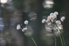 花便り - 冬姿の石蕗 -