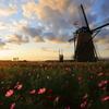 印旛沼・風車 - 秋桜の輝き -