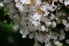 花便り - 庭園の白百日紅 -