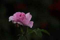 花便り - 雨の中のエレガンス -