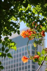 花便り - 都心のノウゼンカズラ -