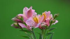 花便り - ペルーの百合 -