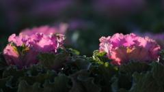 花便り - 葉牡丹の輝き -