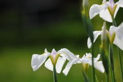 花便り - 花菖蒲・野川の辺り -