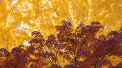 花便り - 紅黄競演 -