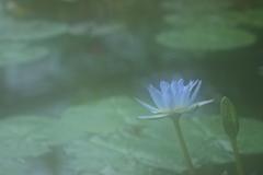 花便り - 幻霧の青紫 -