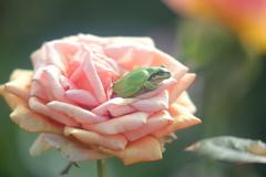 生き物写真館 - 秋薔薇の上の雨蛙 -