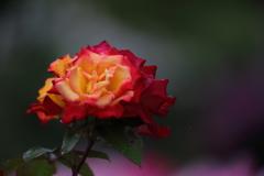 花便り - 艶やかなチャールストン -