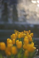 花便り - 噴水前のアイスチューリップ -