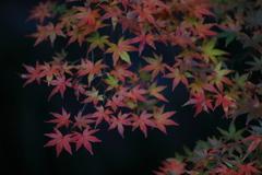 花便り - 残り楓葉 -