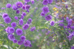 花便り - 秋花壇の孔雀アスター -