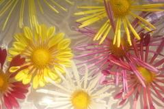 花便り - 水盤の肥後菊 -