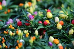 花便り - カラーペッパー -