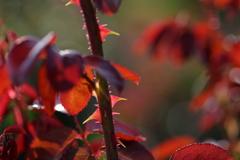 花便り - 秋陽に輝く棘葉 -