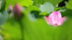 花便り - 輝きの蓮華 -