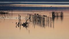 印旛沼・朝景 - 佇む川鵜たち -