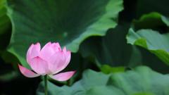 花便り - 蓮華一輪 -