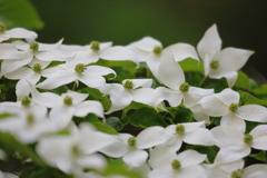 花便り - 密集したヤマボウシ -